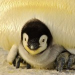 penguin update, baby penguin