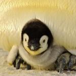 penguin update, baby penguin